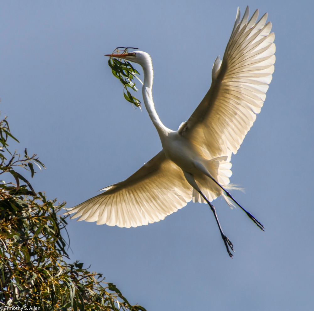 Great Egret Carrying a Branch for Making a Nest W 9th St., Santa Rosa, CA, U.S.A. March 23, 2017
