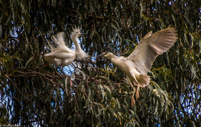 A Night Heron Flies By a Snowy Egret on Its Way to Deliver Nest Material. W 9th St., Santa Rosa, CA, U.S.A. March 23, 2017