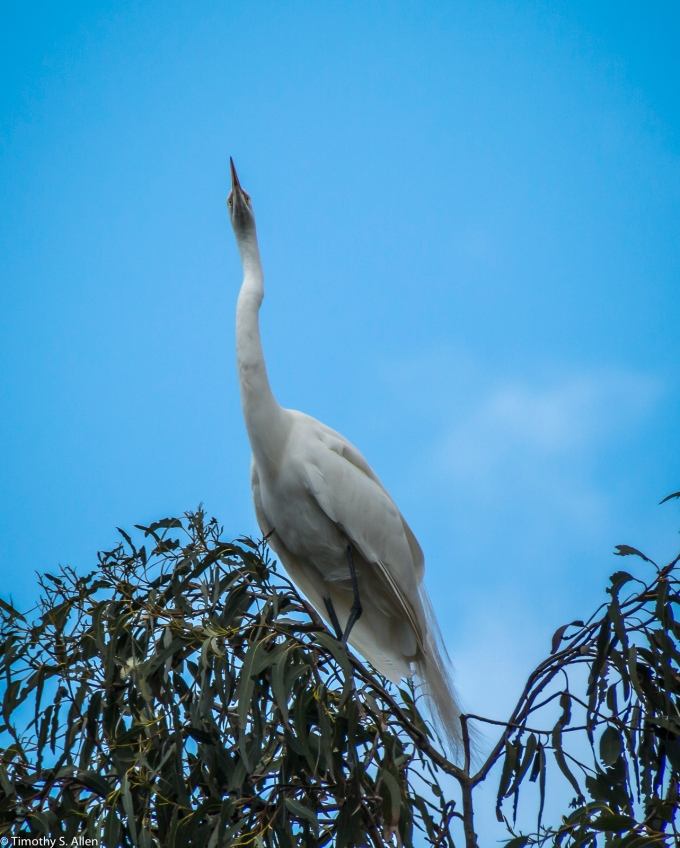 Great Egret W 9th St., Santa Rosa, CA, U.S.A. March 22, 2017
