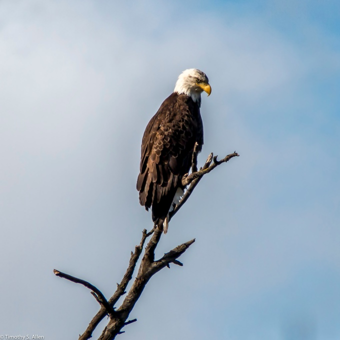 Bald Eagle Milpitas, CA, U.S.A. March 25, 2017