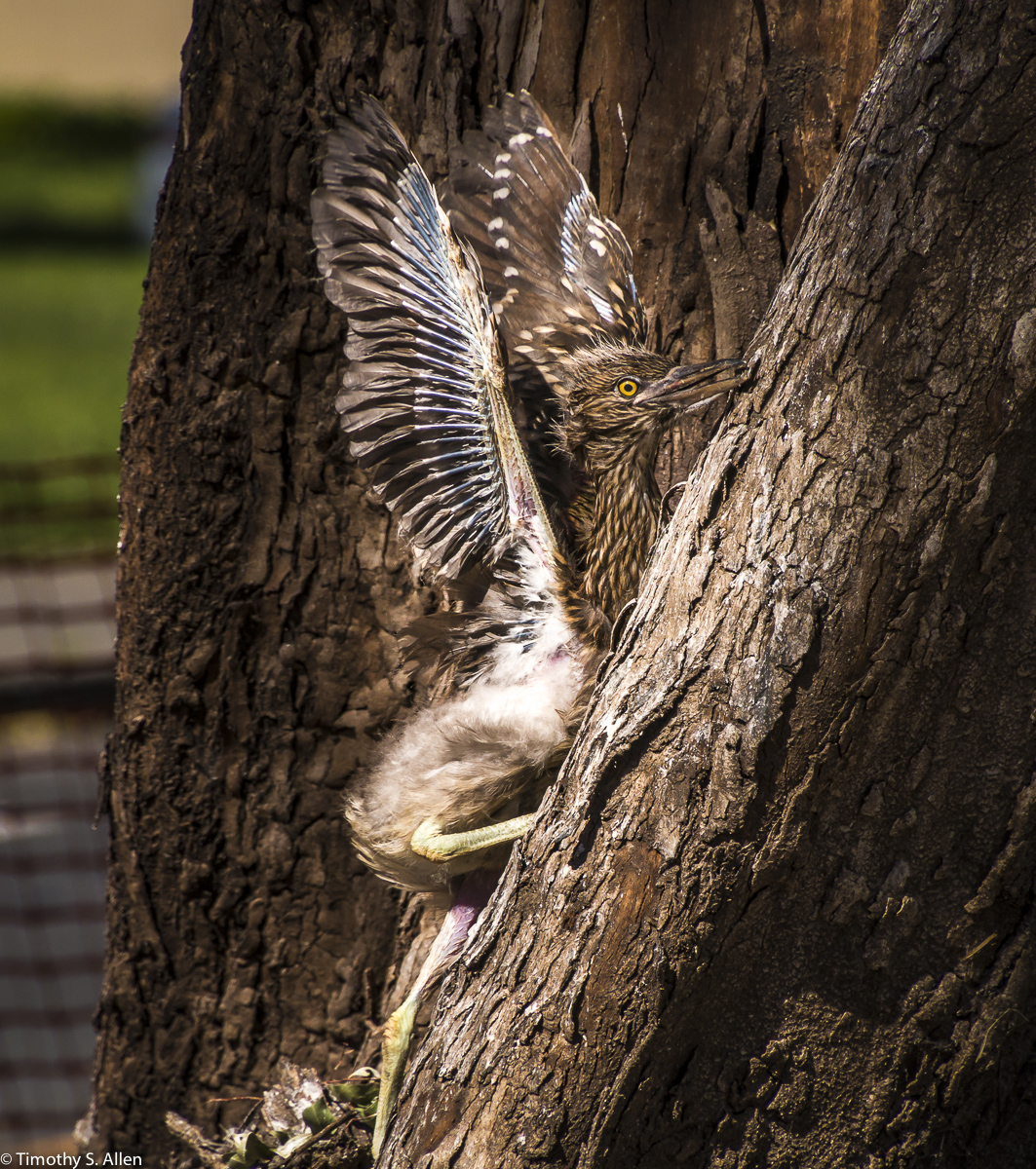 The Same Black Crowed Night Heron Chick Tries to Return to the Nest After Falling Out of the Tree. W. 9th St. Santa Rosa, CA, U.S.A. April 28, 20
