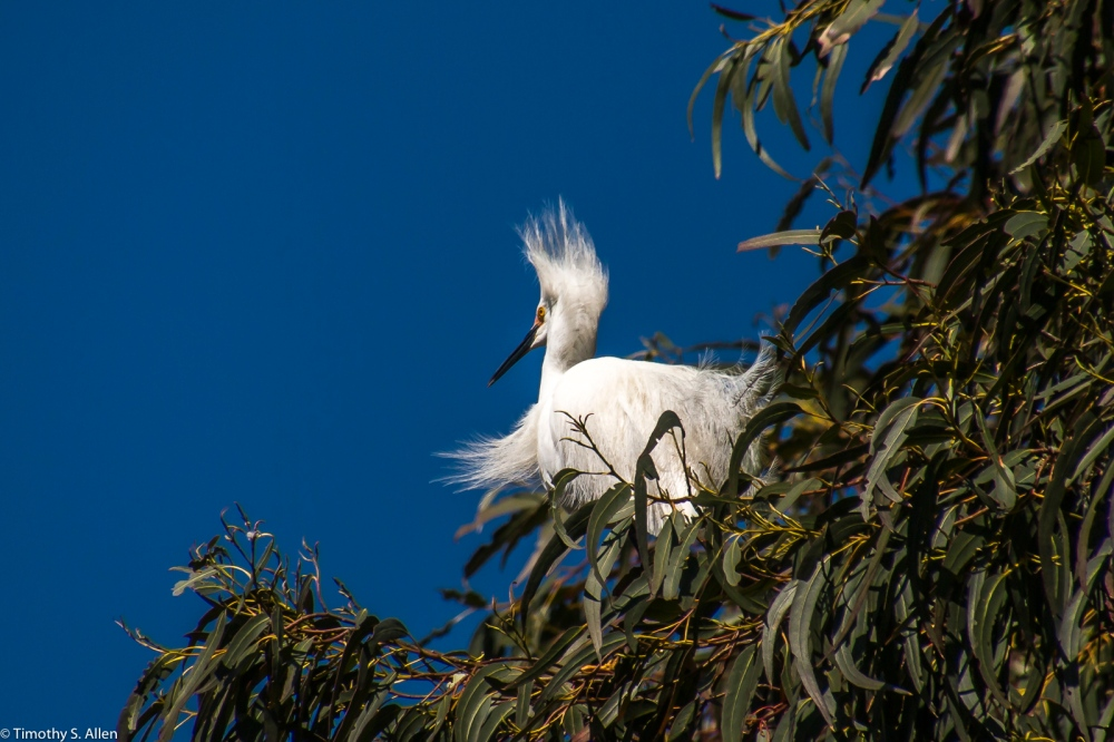 Snowy Egret During Mating Season W. 9th St. Santa Rosa, CA, U.S.A. March 30, 2017
