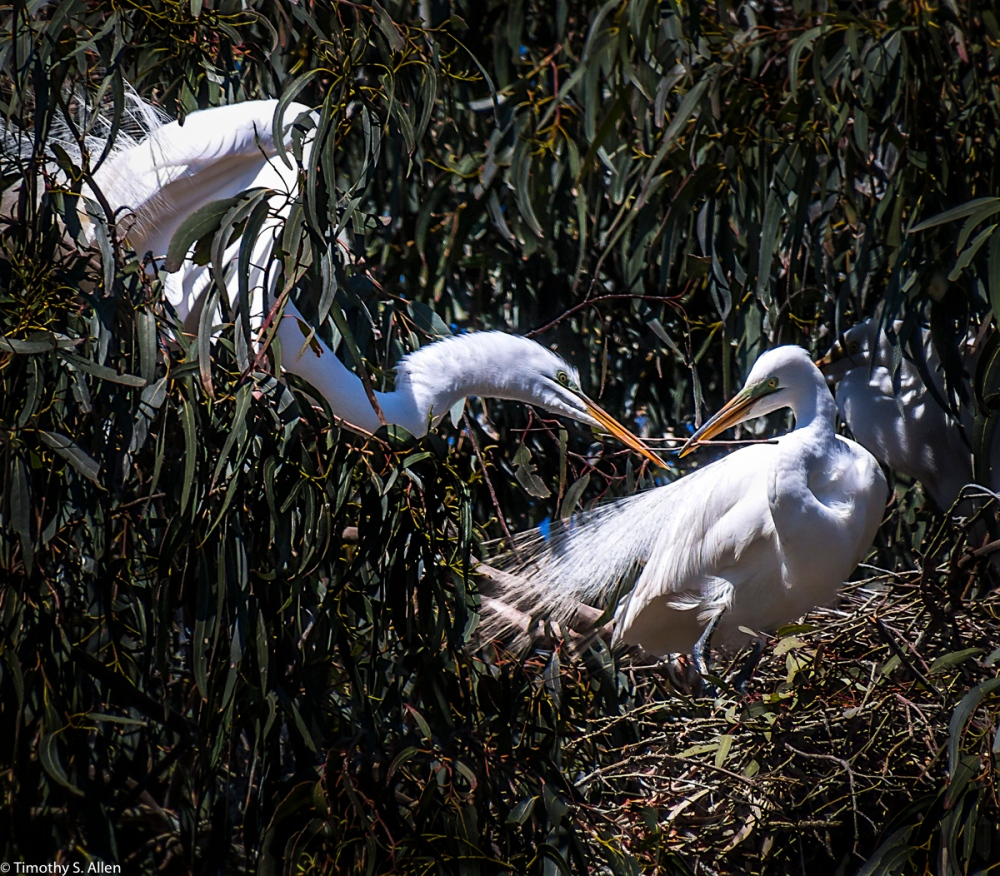 One Great Egrets Takes a Stick for Nest Building from Its Partner W. 9th St., Santa Rosa, CA, U.S.A. April 3, 2017