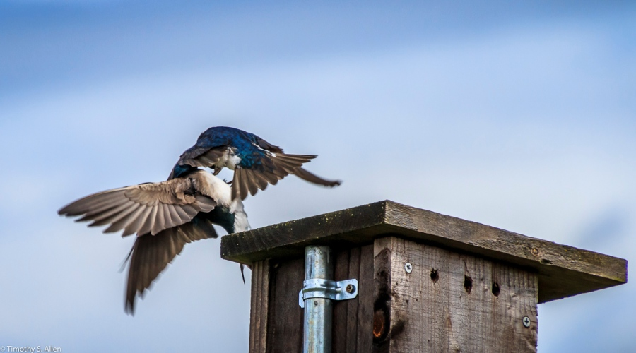 Two Western Blue Birds Fighting Over Who Will Nest in This Box LaGuna de Santa Rosa, Sebastopol, CA, U.S.A. April 8, 2017