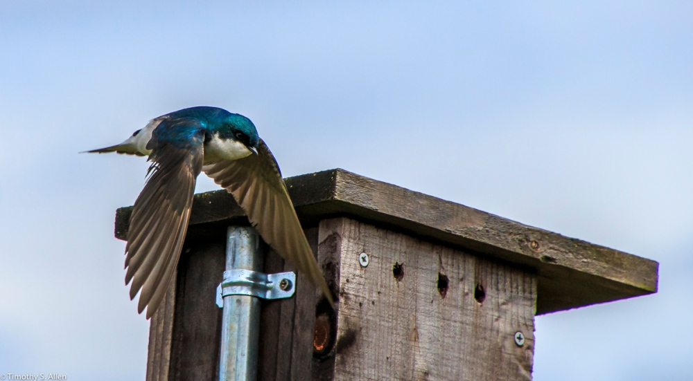 Western Blue Bird Flies By a Nesting Box Laguna de Santa Rosa, Sebastopol, CA, U.S.A. April 8, 2017