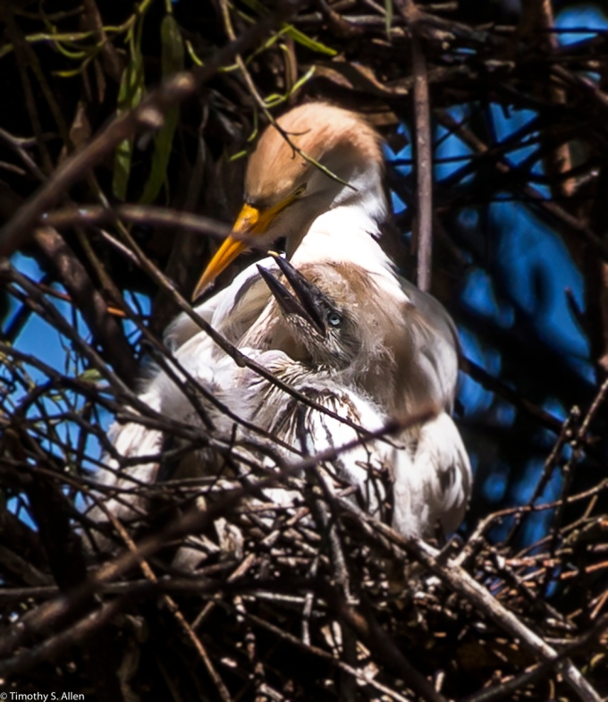 Cow Egrets W. 9th St. Rookery Santa Rosa, CA, U.S.A. April 14, 2017