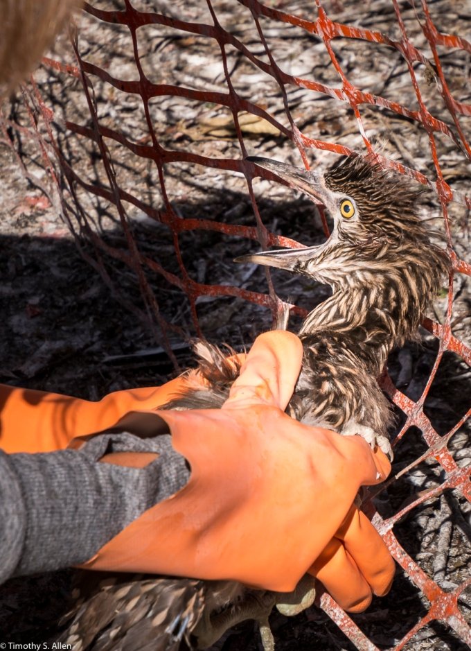 The Same Black Crowed Night Heron Chick That Had Fallen Out of the Tree Is Captured By a Volunteer and Will Be Taken To A Bird Rescue Center. W. 9th St. Santa Rosa, CA, U.S.A.