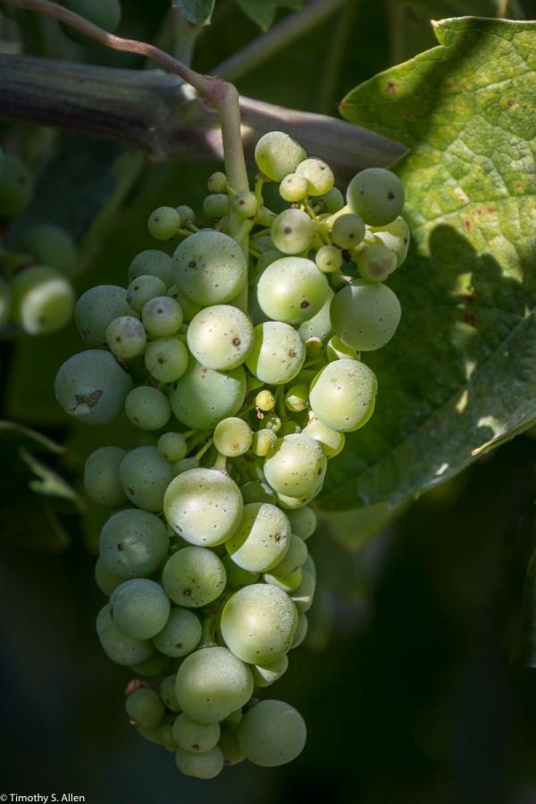 Wine Grapes from Dry Creek Area Sonoma County, California, U.S.A. June 21, 2015