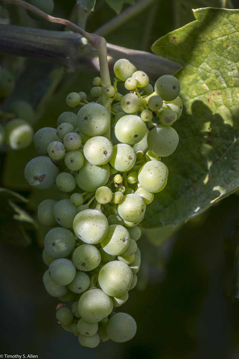 Wine Grapes from Dry Creek Area Sonoma County, California, U.S.A. June 21, 2015