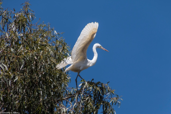 Young Great Egret Testing Its Wings for Flight West 9th St. Rookery, Santa Rosa, CA, U.S.A. May 15, 2017