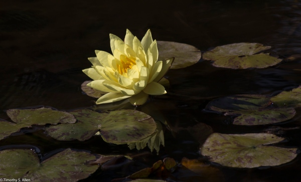 Water Lilly in a Pond in Golden Gate Park San Francisco, CA, U.S.A. May 18, 2017