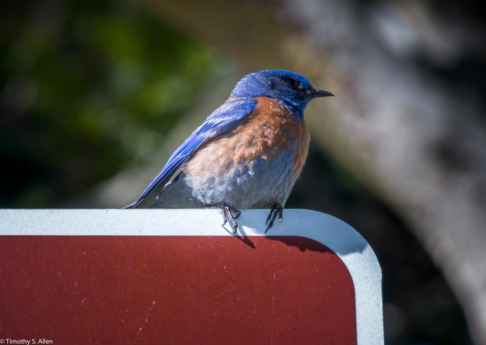 Blue Bird Sonoma Square Somoma, CA, U.S.A. July 2, 2017