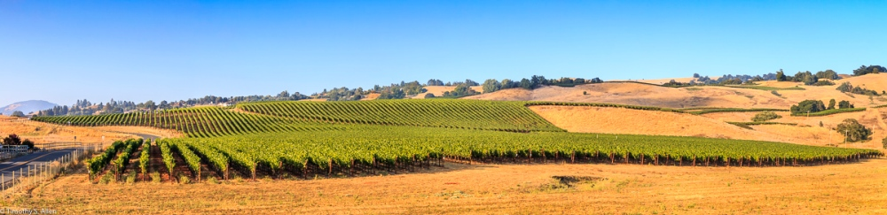 Panoramic of the Vineyards Near Crane Creek Regional Park Santa Rosa, CA, U.S.A. August 6, 2017