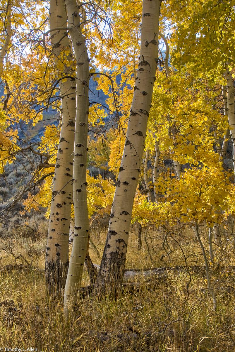 Aspen Trees, June Lake Loop, Eastern Sierra Nevada Mountains, CA, U.S.A. October 13, 2017