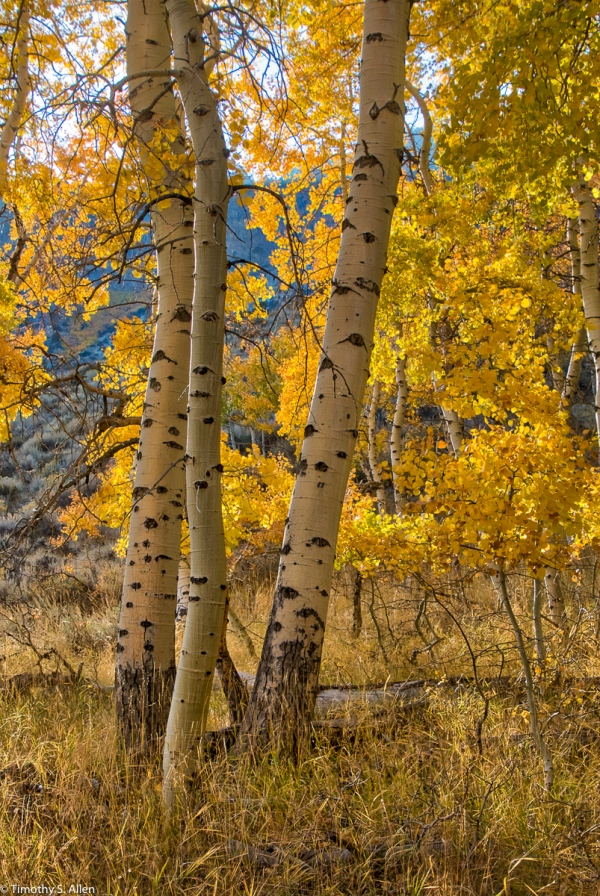 Aspen Trees, June Lake Loop, Eastern Sierra Nevada Mountains, CA, U.S.A. October 13, 2017