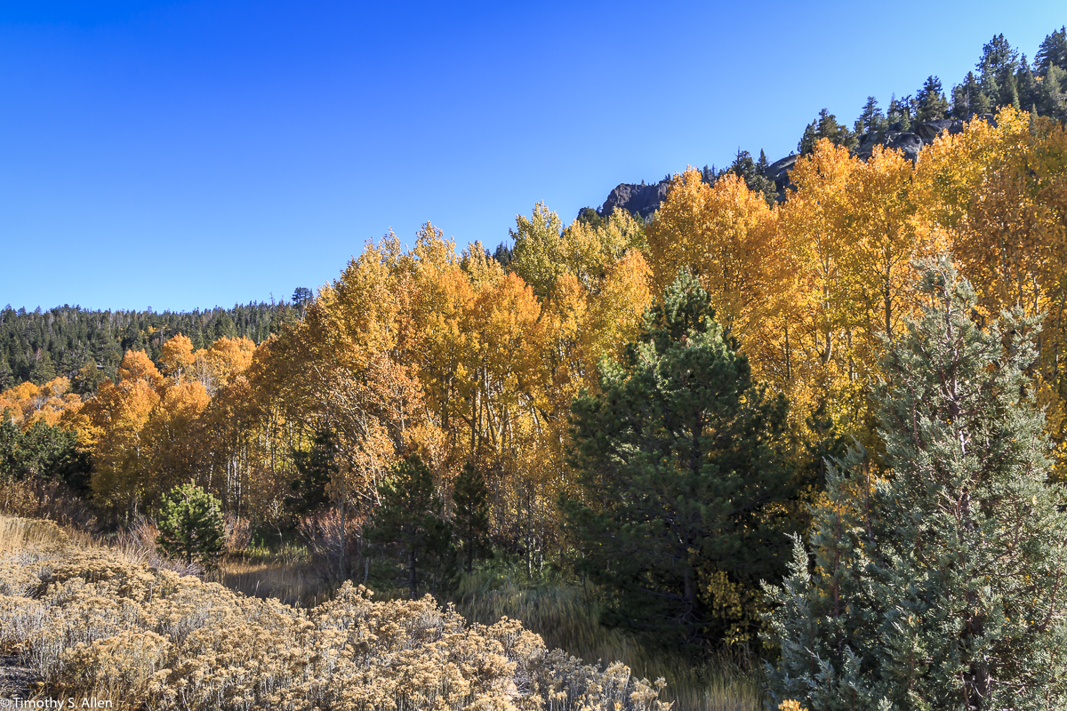 Aspen Fall Colors Hwys 88 and 89 California, U.S.A. October 12, 2017