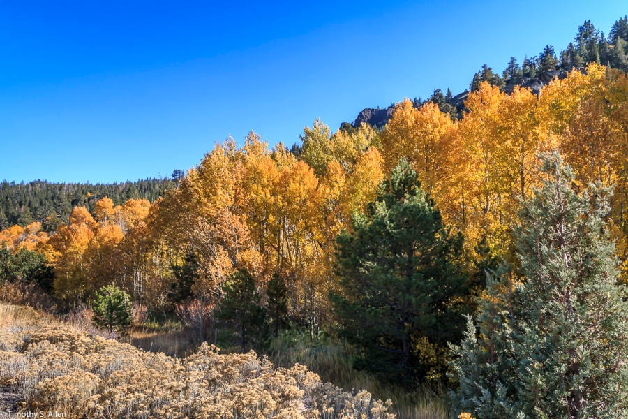 Aspen Fall Colors Hwys 88 and 89 California, U.S.A. October 12, 2017