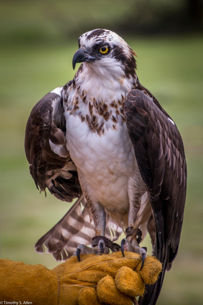 Rescued Osprey at the Bird Rescue Center, https://www.birdrescuecenter.org/ Santa Rosa, CA, U.S.A. December 2, 2017