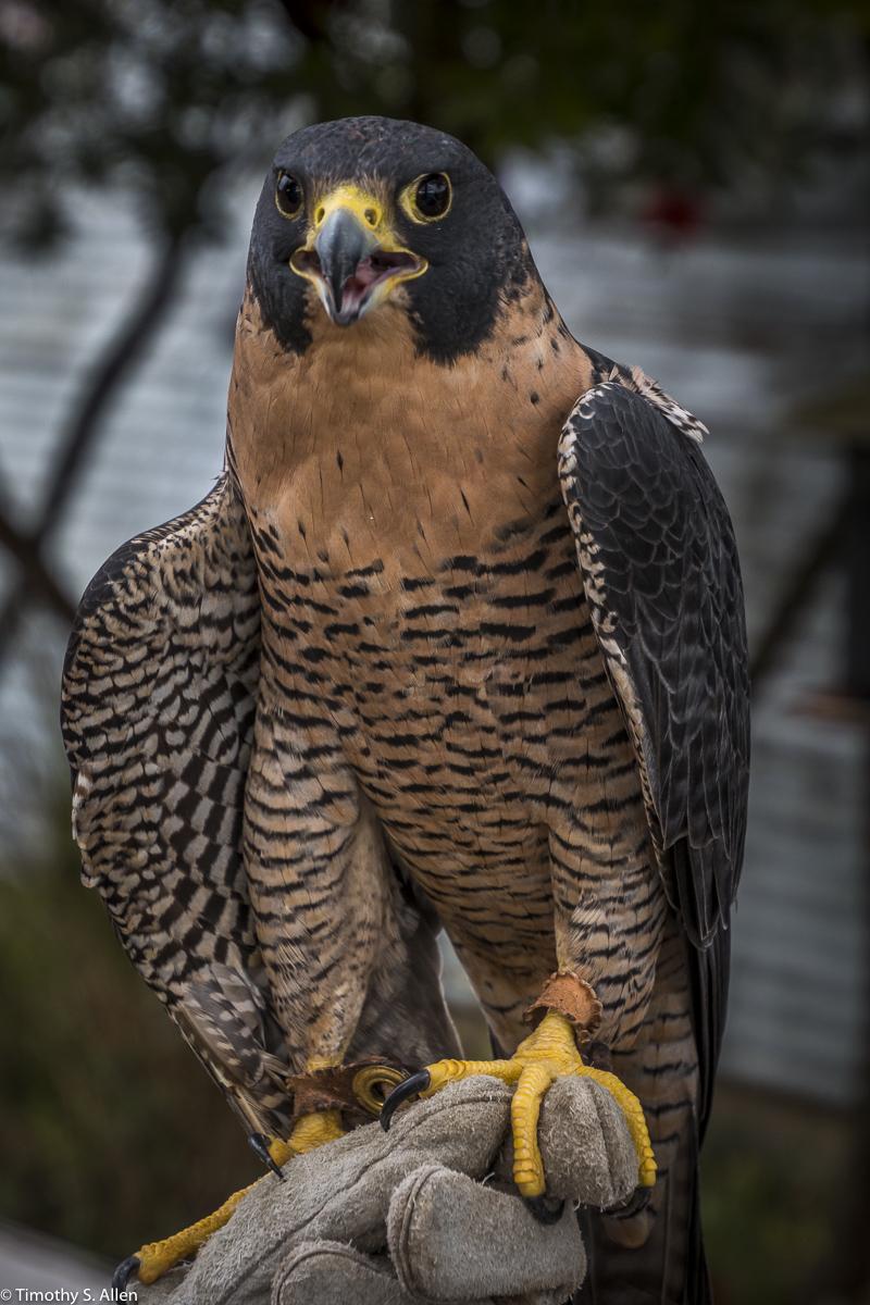 Rescued Peregrine Falcon at the Bird Rescue Center, https://www.birdrescuecenter.org/ Santa Rosa, CA, U.S.A. December 2, 2017