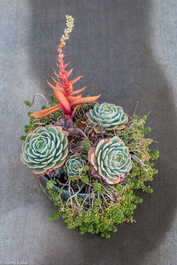 Part of the Franz Winery's Succulent Collection, Cloverville, CA, U.S.A. December 27, 2017
