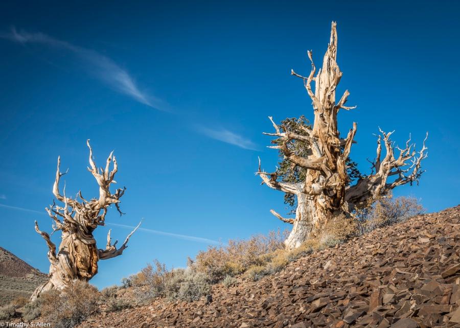 Bristlecone Pine, Bristlecone Pine Forest, White Mountain, Eastern California, U.S.A. October 15, 2017