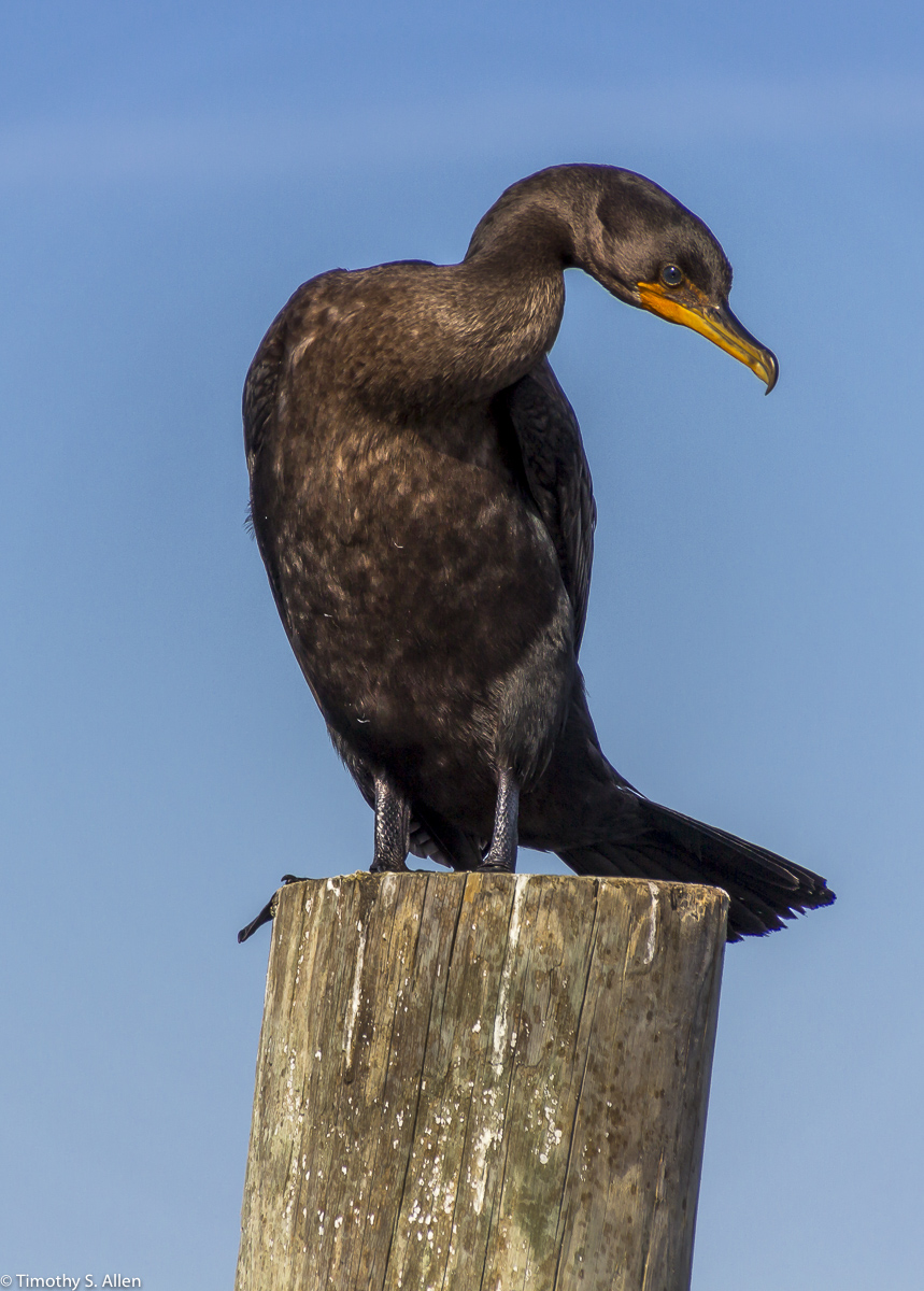 Cormorant Sitting on a Pier Watch Hill, Fire Island National Seashore New York State, U.S.A. September 17, 2015
