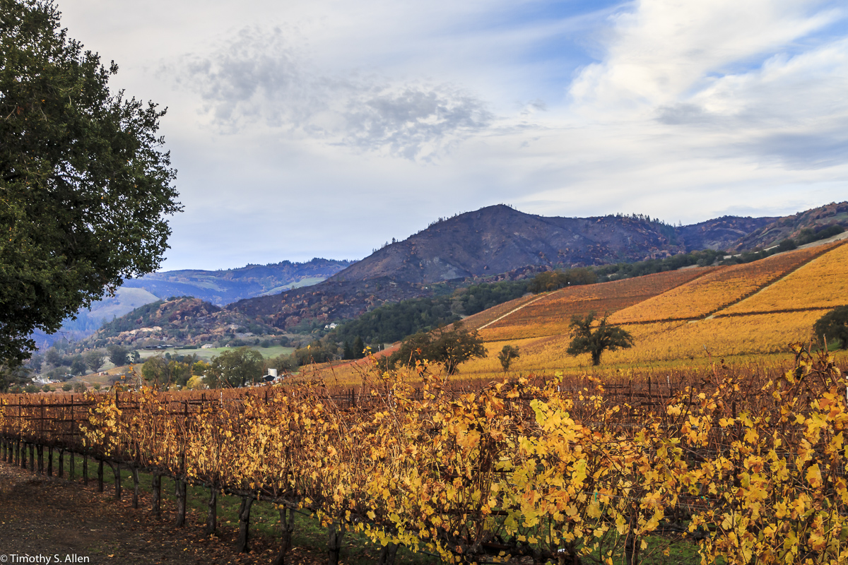 The Hills Showing the Damage from the November Fires in Northern California Compared to the Autumn Colors of the Vineyards Along CA Hwy 12 Near Kenwood. November 25, 2017