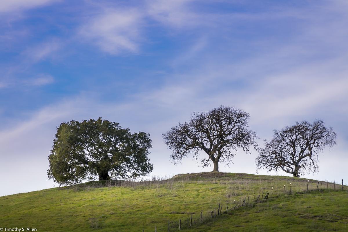 Three Trees Sit on the Top of a Hill Kastania Road, Petaluma, CA, U.S.A. January 28, 2018