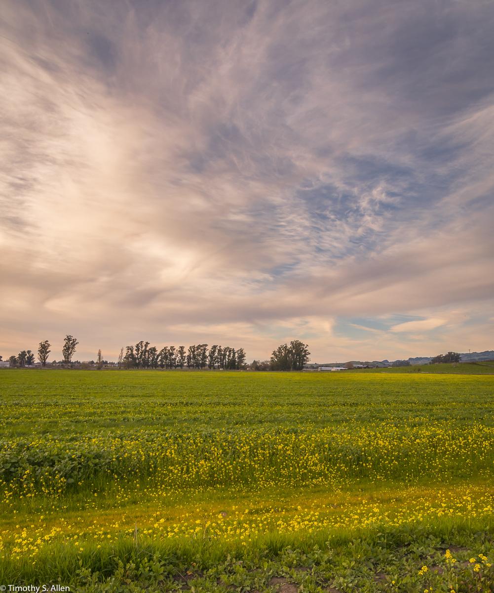 Mustard Is Appearing in the Fields Brown's Ln Off of CA Hwy 116, Petaluma, CA, U.S.A. January 28, 2018