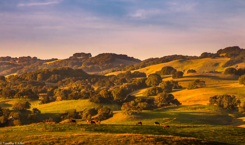 Horses Graze on Hillsides in the Late Afternoon - Old Adobe Road, Sonoma County, CA, U.S.A. January 30, 2017