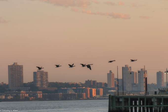 Canadian Geese Flying Across the Hudson River in the Early Morning to Land in Manhattan. New York City, NY, U.S.A. September 13, 2017