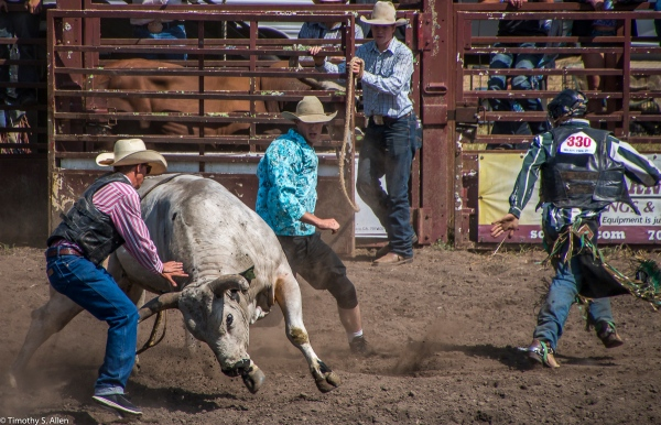 The Rider is Able to Walk Away as Another Cowboy Clown Steps in Front of the Bull - Russian River Rodeo, Duncan Mills, CA, U.S.A. June 24, 2017