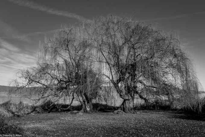 Two Weeping Willows - Clear Lake Lake Port, CA, U.S.A. February 4, 2018