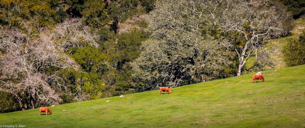 Three reddish brown cows graze on a hillside pasture. Los Alamos Road, Santa Rosa, Sonoma County, California, U.S.A. February 2, 2018