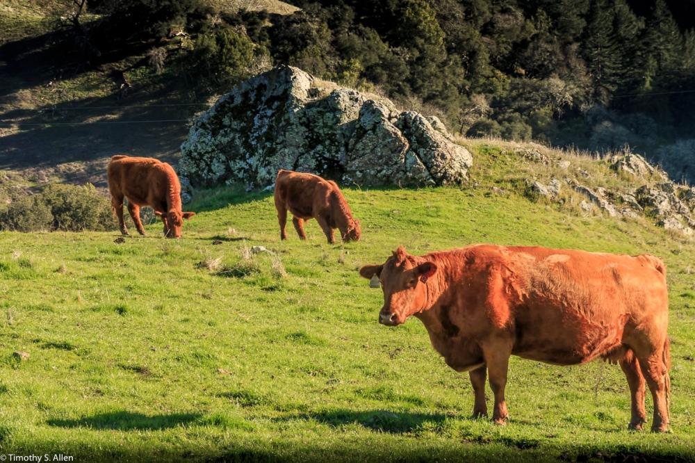Three reddish brown cows graze on a hillside pasture. Los Alamos Road, Santa Rosa, Sonoma County, California, U.S.A. February 2, 2018