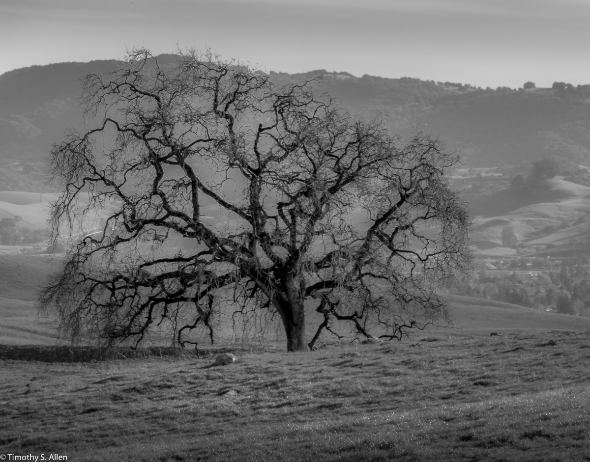 A oak tree in its winter nakedness stand on the top of the hill. Seen from Lynch Road, Petaluma, Sonoma County, California, U.S.A. February 9, 2018