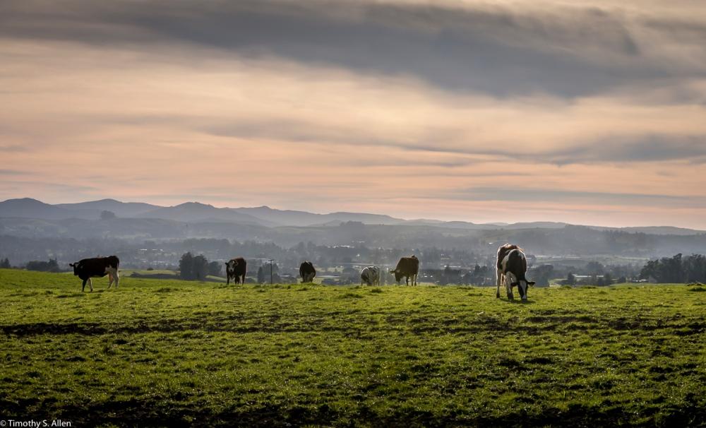 Dairy Farm in Southern Sonoma County Lynch Road, Sonoma County, CA. U.S.A. February 8, 2018