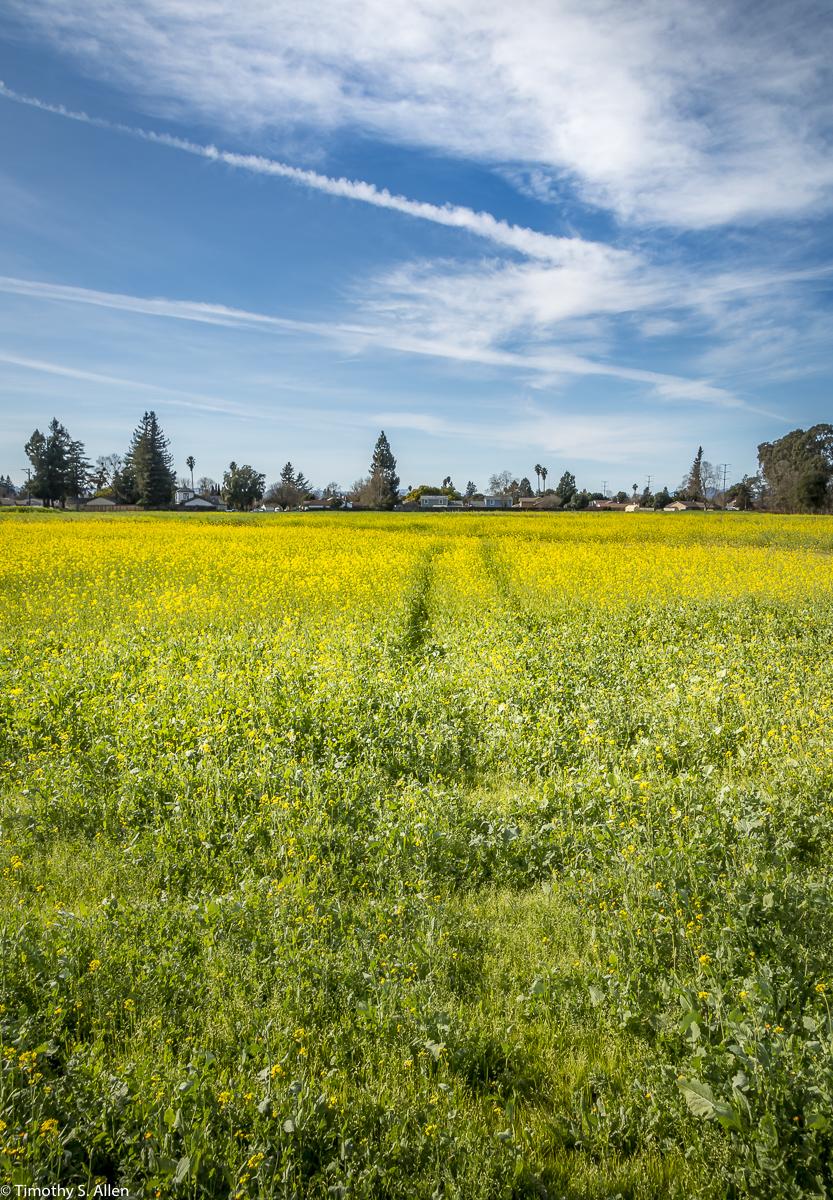 A Field of Mustard 3rd St, Santa Rosa, CA, U.S.A. February 10, 2018