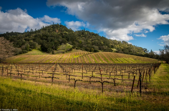 Mustard Blooming Amongst Dormant Vines - CA Hwy 29, Calistoga, CA, U.S.A. February 18, 2018