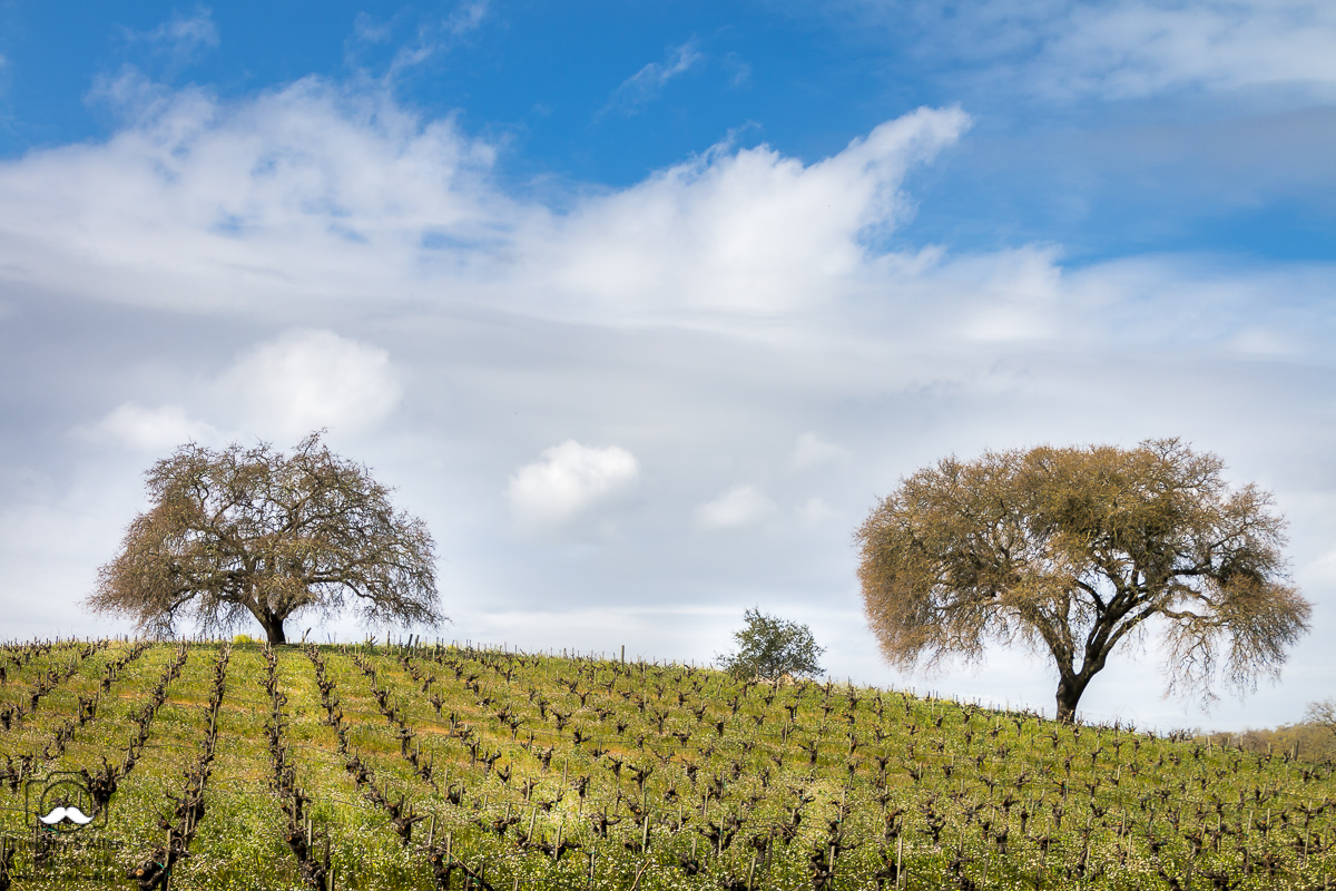 Spring Appearing B R. Cohn Winery CA Hwy 12, Sonoma County, CA, U.S.A. February 28, 2018