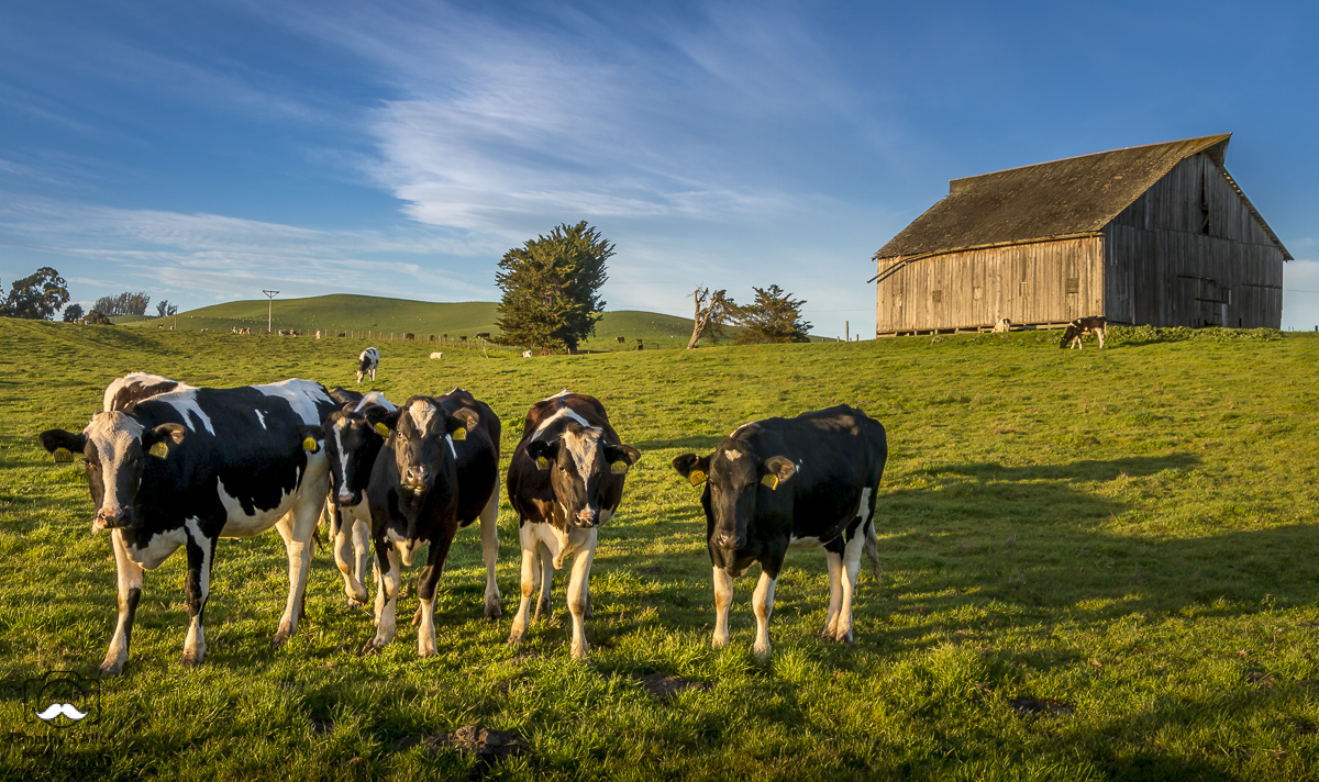 Young cows come out to greet me as I'm trying to take a picture of this barn. Fallon Two Rock Road, Petaluma, Sonoma County, CA. April 2, 2018