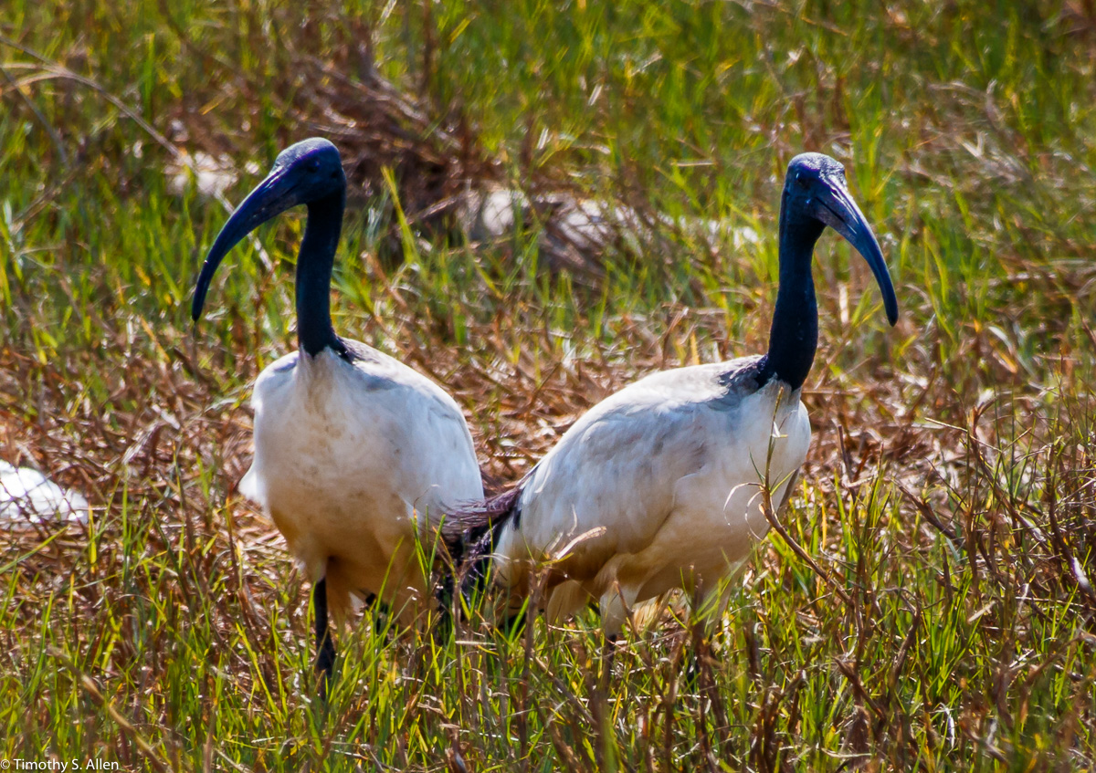 This is bird revered in ancient Egypt, and associated with the god Thoth, is posing an environmental threat in Taiwan. It escaped from a zoo 20 years ago. The African Sacred Ibis has also been identified as a pest species in France, Italy, Spain, and the United States. The predatory species poses a threat to local species that share a similar biological niche, such as various species of egrets, Herons, and terns. (Source: Taiwan English News, April 16, 2016 http://taiwanenglishnews.com/the-sacred-ibis-runs-rampant-in-taiwan/ Chang long Village, Kohou Township, Yunlin County Taiwan April 23, 2018