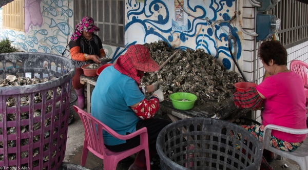 Three women are removing fresh oysters harvested from nearby oyster farms along the western coastline of Taiwan. Two are wearing the traditional hats of villagers in the area. Cheng long Village, Kohou Township, Yunlin County, Taiwan, April 25, 2018