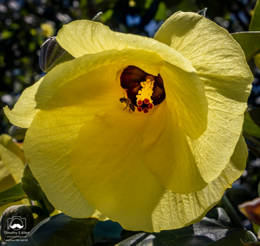 The hibiscus tiliaceus is found in Taiwan. A tree with beautiful flowers is pollinated by insects such as the one found in this flower. Cheng long Village, Kohou Township, Yunlin County, Taiwan May 14, 2018