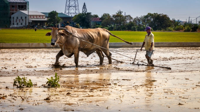 Water buffalo and oxen are now rarely seen in Taiwan plowing rice fields. An article in the March 06, 2017 Taipei Times said that there were about 99 water buffaloes in use in Taiwan in 1915. (http://www.taipeitimes.com/News/taiwan/archives/2017/03/06/2003666239) Now big tractors are commonly seen in the fields of Taiwan This ox was plowing a rice field near Shueilin Township in Yunlin County, Taiwan. May 1, 2018