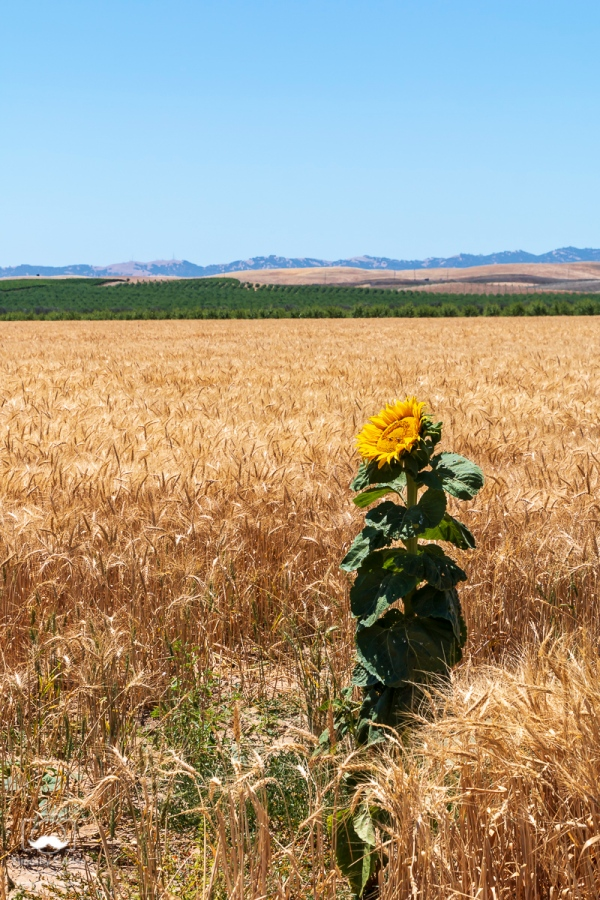 Sunflower stands in wheat field off of I-5. Yolo County, U.S.A. June 1, 2018