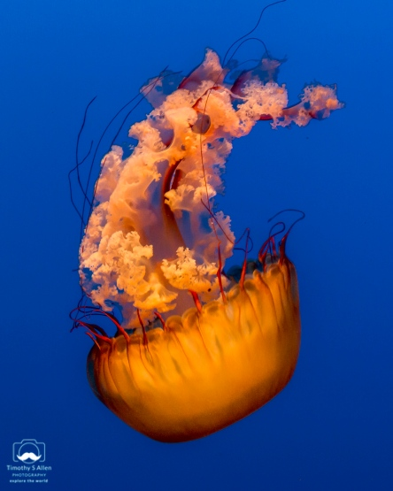 The same jellyfish - color or black and white. I'd welcome your comments. Monterey Aquarium Monterey, CA, U.S.A. June 19, 2018