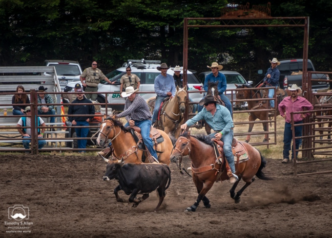 The cowboy in the blue shirt will try to slide off his horse, grab the black steer by its horns and roll it on to its back all in the shortest time possible. The cowboy on the left keeps the steer close to the other cowboy. Russian River Rodeo, Duncans Mills, CA, U.S.A. June 24, 2018