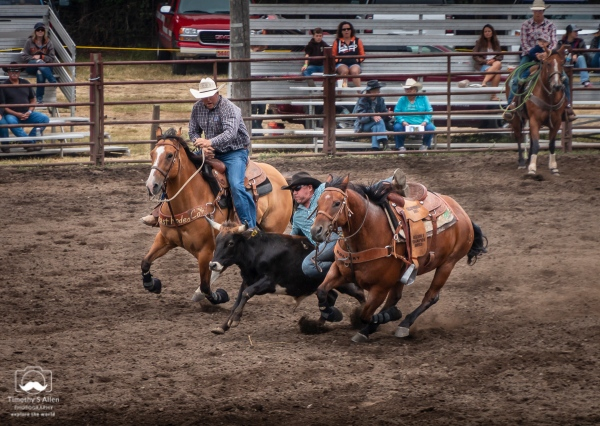 The cowboy in the blue shirt is sliding off his horse and grabbing the black steer. He will move his hands up to grab its horns. He'll try to roll it on to its back. All of this in the shortest time possible. Russian River Rodeo, Duncans Mills, CA, U.S.A. June 24, 2018