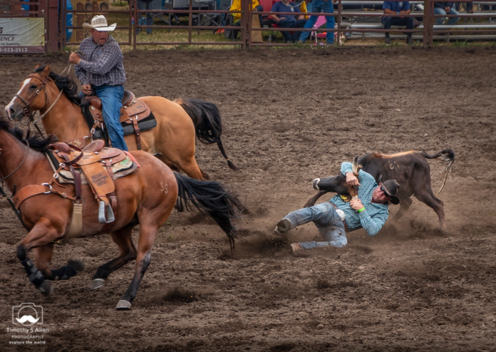 The cowboy in the blue shirt has sliding off his horse and grabbing the black steer by its horns. He's attempting to roll it on to its back. All of this in the shortest time possible. Russian River Rodeo, Duncans Mills, CA, U.S.A. June 24, 2018